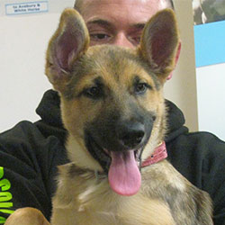 Cleo the German Shepherd Dog x Malamute, Macqueen Puppy Party Graduate from Calne