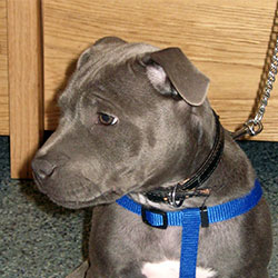 Houdini the Staffordshire Bull Terrier, Macqueen Puppy Party Graduate from Bishop Cannings