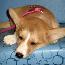 Nelle the Corgi, Macqueen Puppy Party Graduate from Devizes