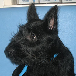 Bertie the Scottie, Macqueen Puppy Party Graduate from Edington