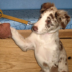 Boris the Border Collie, Macqueen Puppy Party Graduate from Great Cheverell