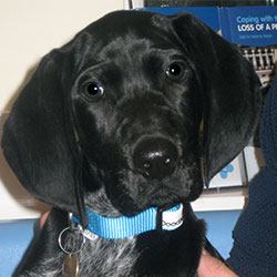 Delilah the Pointer, Macqueen Puppy Party Graduate from Worton