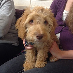 Lottie the Cockerpoo, Macqueen Puppy Party Graduate from Devizes