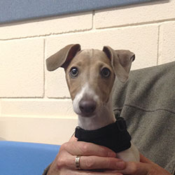 Merlin the Italian Greyhound, Macqueen Puppy Party Graduate from Devizes