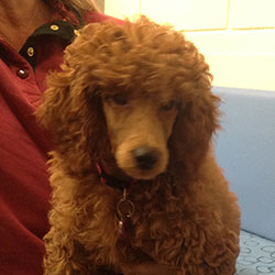Pepsi the Poodle, Macqueen Puppy Party Graduate from Worton