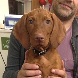Poppy the Vizsla, Macqueen Puppy Party Graduate from Calne