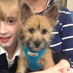 Puffin the Chihahua x Yorkshire Terrier, Macqueen Puppy Party Graduate from Devizes