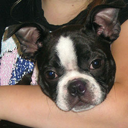 Rosa the Boston Terrier, Macqueen Puppy Party Graduate from Beckhampton