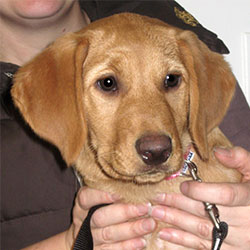 Ruby the Labrador x Viszla, Macqueen Puppy Party Graduate from Devizes