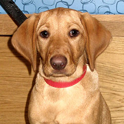 Ruby the Labrador x Viszla, Macqueen Puppy Party Graduate from Potterne