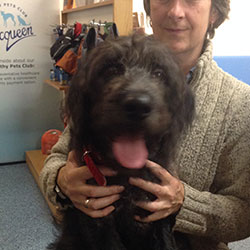 Sam the Labradoodle, Macqueen Puppy Party Graduate from Calne