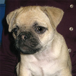 Bugsie the Pug, Macqueen Puppy Party Graduate from