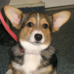 Bunty the Corgi, Macqueen Puppy Party Graduate from Devizes