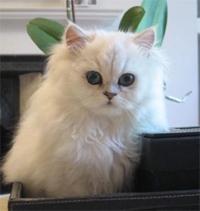 Chinchilla Cat Society