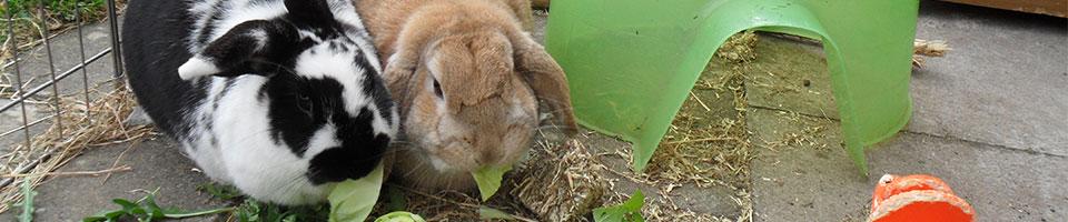 two rabbits eating lettuce