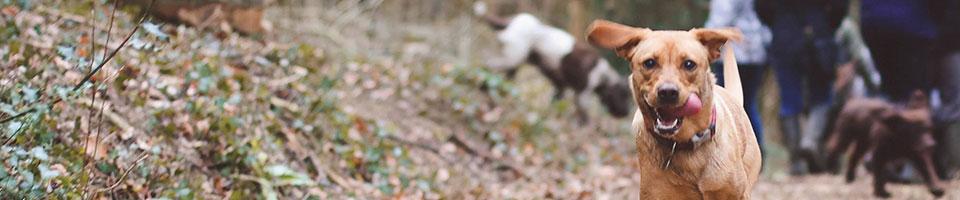 Labrador running to camera, heart disease