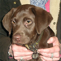 Dammit the Labrador, Macqueen Puppy Party Graduate from Calne