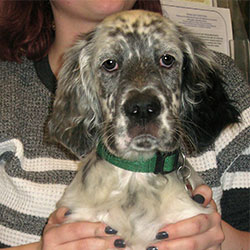 Howard the English Setter, Macqueen Puppy Party Graduate from Devizes