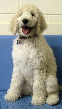 Lillie the standard poodle, macqueen puppy party graduate from Calne