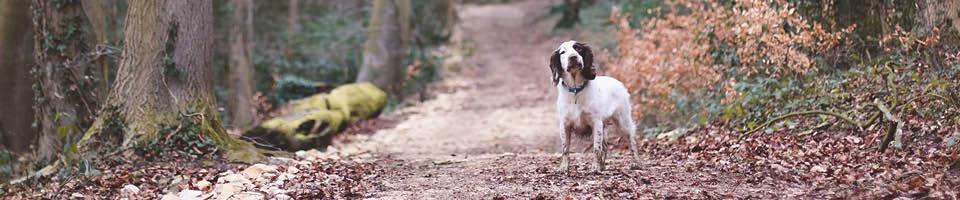 spaniel in woodland