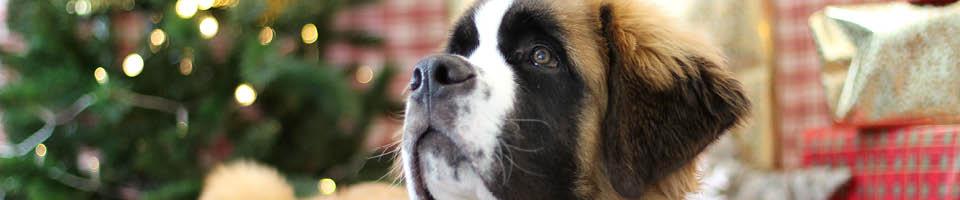 newfoundland dog christmas