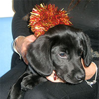 Fern the Springer Spaniel x Labrador, Macqueen Puppy Party Graduate from Devizes