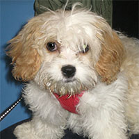 Molly the Cavachon, Macqueen Puppy Party Graduate from Melksham