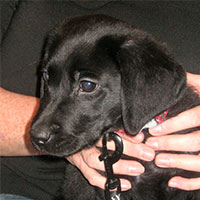 Ziggy the Labrador, Macqueen Puppy Party Graduate from Devizes