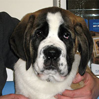 Buzz the St Bernard, Macqueen Puppy Party Graduate from Lyneham