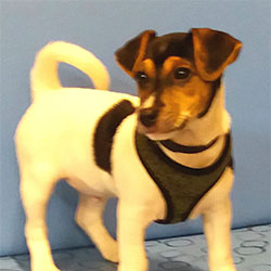 Elton the Jack Russell Terrier from Worton, Macqueen Puppy Party Graduate