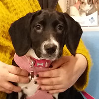 Luna the Springer x Collie Beagle, Macqueen Puppy Party Graduate from Devizes