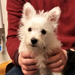 Monty the West Highland Terrier from Devizes, Macqueen Puppy Party Graduate