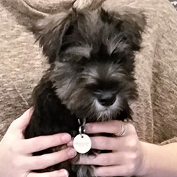 Murphy the Miniature Schnauzer from Devizes, Macqueen Puppy Party Graduate
