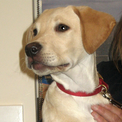 Bailey the Labrador Macqueen Puppy Graduate from Devizes