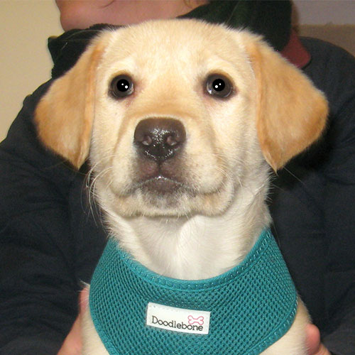Luna the Labrador, Macqueen Vets Puppy Graduate from Devizes