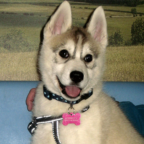 Meah the Husky Macqueen Puppy Graduate from Devizes