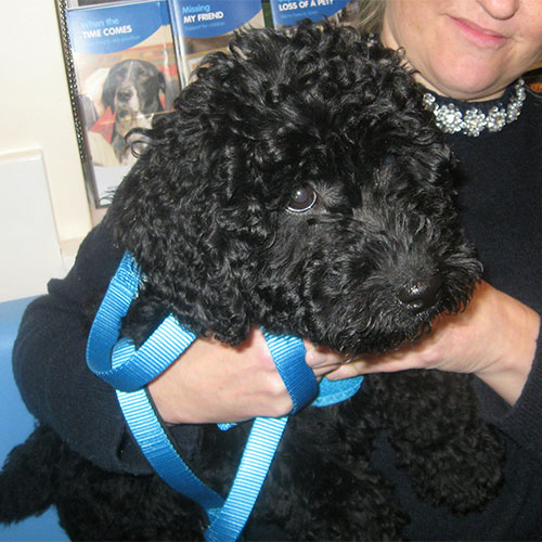 Nellie the Miniature Labradoodle, Macqueen Vets Puppy Graduate from Calne