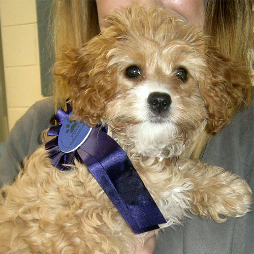 April the Cavapoo, Macqueen Puppy Party Graduate from Devizes