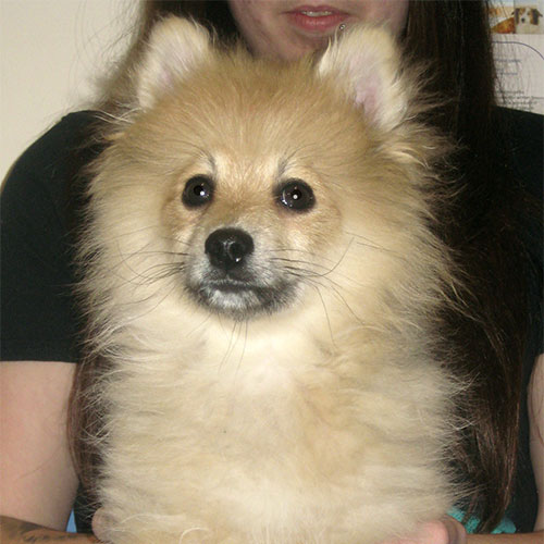 Chester the Pomeranian Cross, Macqueen Puppy Party Graduate from Devizes