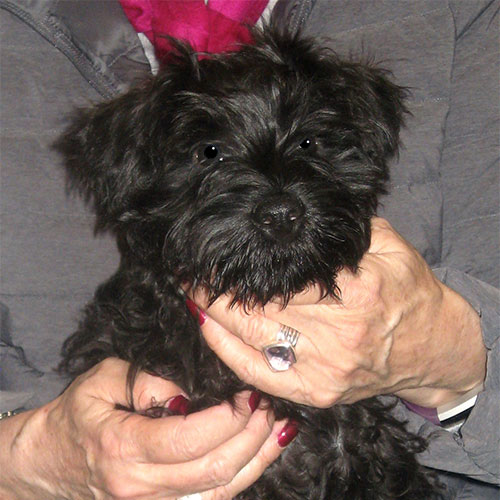 Dixie the Miniature Schnauzer, Macqueen Puppy Party Graduate from Rowde