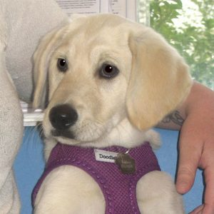 Izzy the Doodle X, Macqueen Puppy Party Graduate from Market Lavington