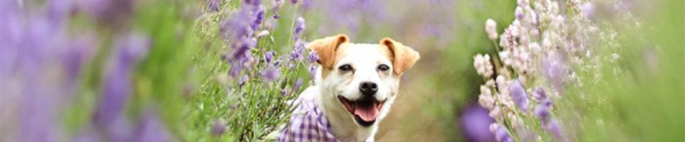 Dog in Lavender