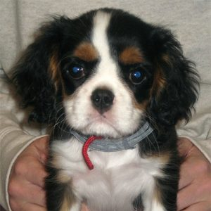 Maisie the Cavalier King Charles Spaniel, Macqueen Puppy Party Graduate from Stert