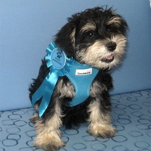 Reggie the Miniature Schnauzer, Macqueen Puppy Party Graduate from Potterne