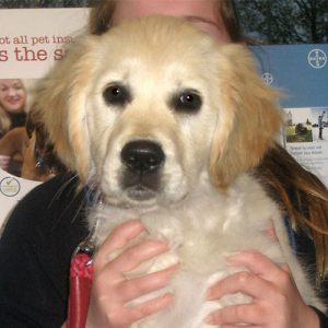 Teazle the Golden Retriever, Puppy Party Graduate from Potterne
