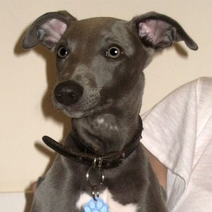 Blue the Whippet, Macqueen Puppy Party graduate from Devizes.