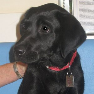 Rumba the Labrador, Macqueen Puppy Party Graduate from Little Cheverell