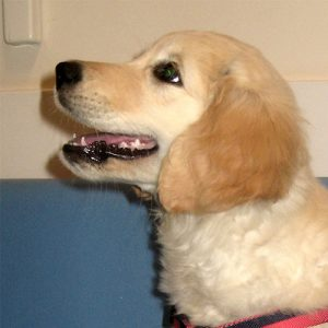 Tatty the Golden Retriever, Macqueen Puppy Party Graduate from Devizes