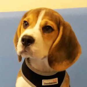 Beau the Beagle, Macqueen Puppy party Graduate from Devizes