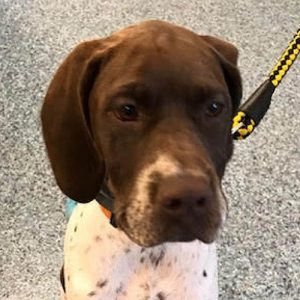 Margot the Pointer, Macqueen Puppy Party graduate from Marston